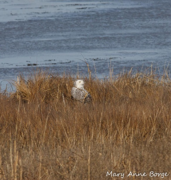 Snowy Owl in the marsh at Forsythe National Wildlife Refuge