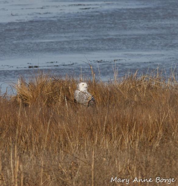 Snowy Owl in the marsh at Forsythe National Wildlife Refuge
