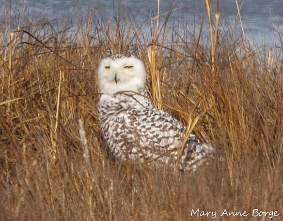 Snowy Owl, probably a first year female