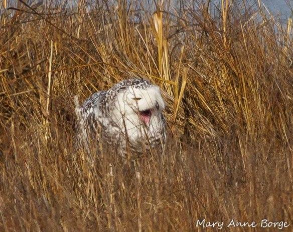 Snowy Owl - yawning?