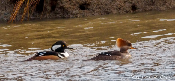 A pair of Hooded Mergansers, male on the left, female on the right