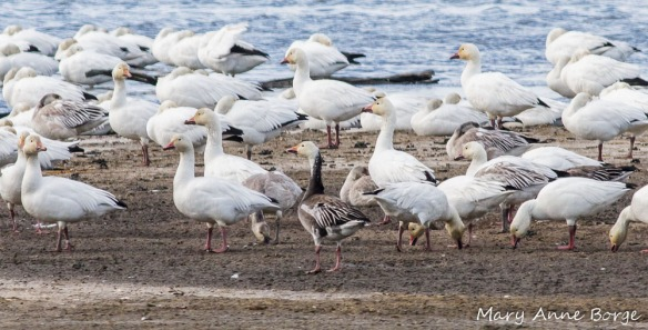 Snow Geese, with one dark morph bird