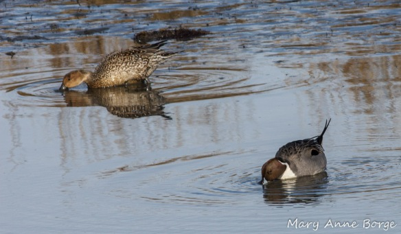 Northern Pintail pair, female upper left, male lower right