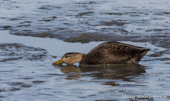 American Black Duck, feeding