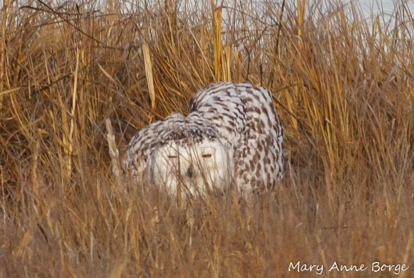 Snowy Owl fluffing out her feathers