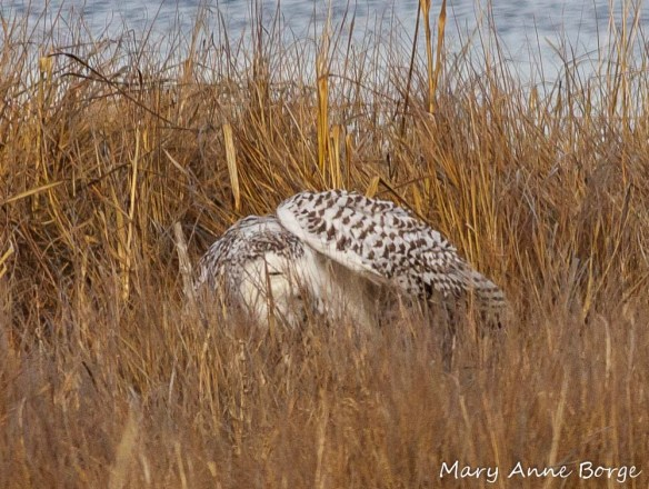 Snowy Owl grooming (Checking for under-wing freshness?)