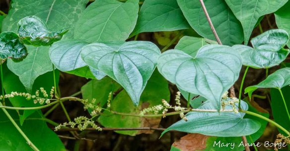 Wild Yam with male flowers
