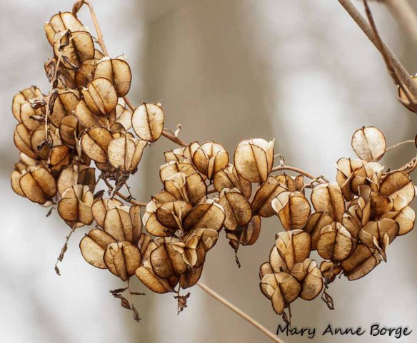 Wild Yam fruit capsules in Winter