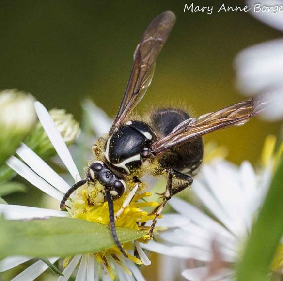 Bald-faced Hornet feeding on nectar.  Note the white facial markings that give this species its name, and the pollen on its head.