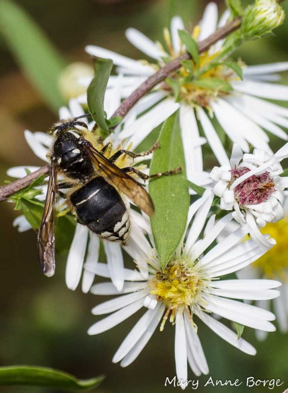 Bald-faced Hornet nectaring on asters