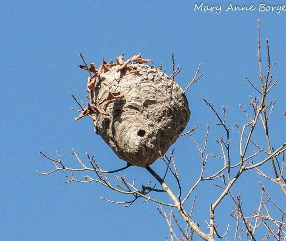 Bald-faced Hornet Nest in winter