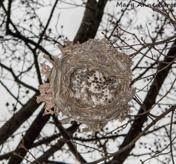 Bald-faced Hornet Nest in winter.  The bottom has been removed, revealing the cells where larvae develop