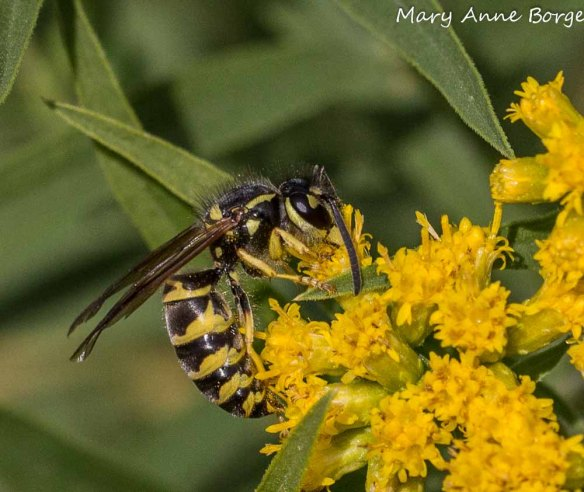 Eastern Yellowjacket (Vespula maculifrons) on Goldenrod