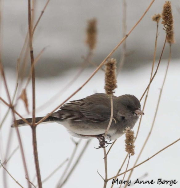 Dark-eyed Junco feeding on Purple Giant Hyssop (Agastache scrophulariifolia) seeds