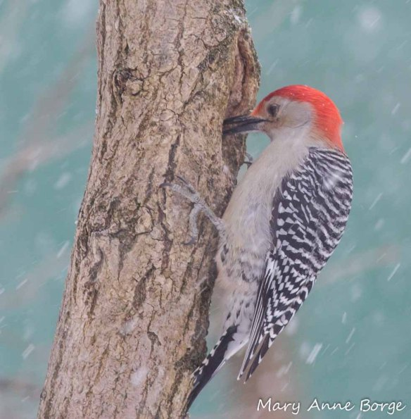 Male Red-bellied Woodpecker preparing a meal