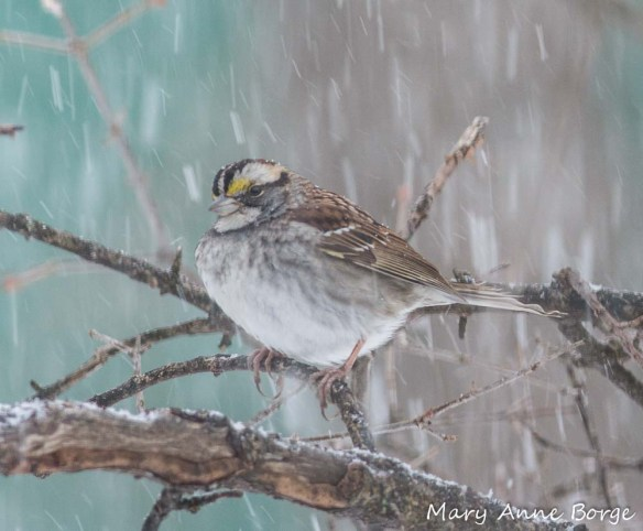 White-throated Sparrow in a snowstorm