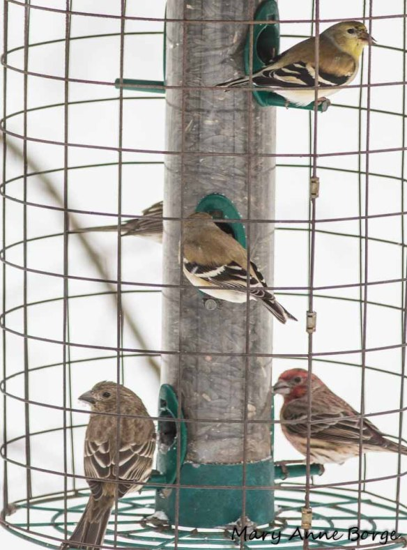 Goldfinches and House Finches at the feeder