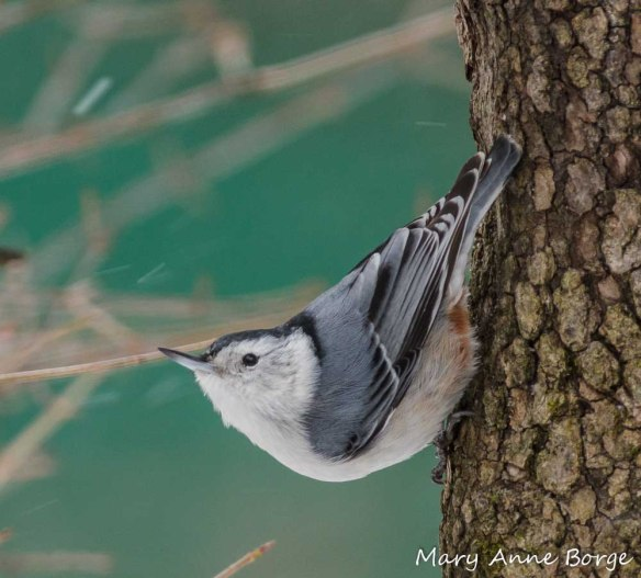 White-breasted Nuthatch on Flowering Dogwood (Cornus florida)