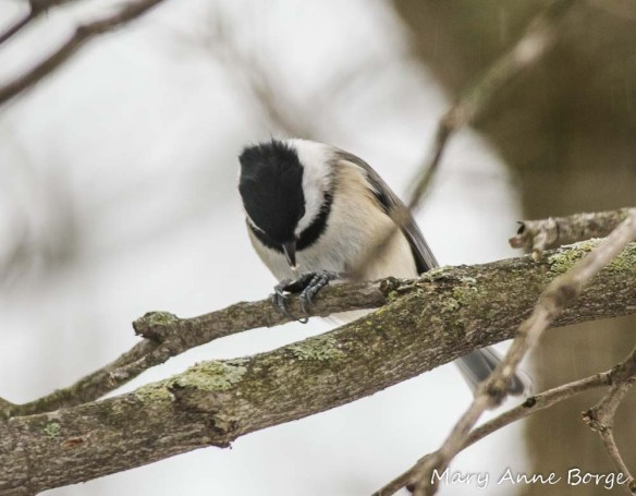 Carolina Chickadee, with lunch
