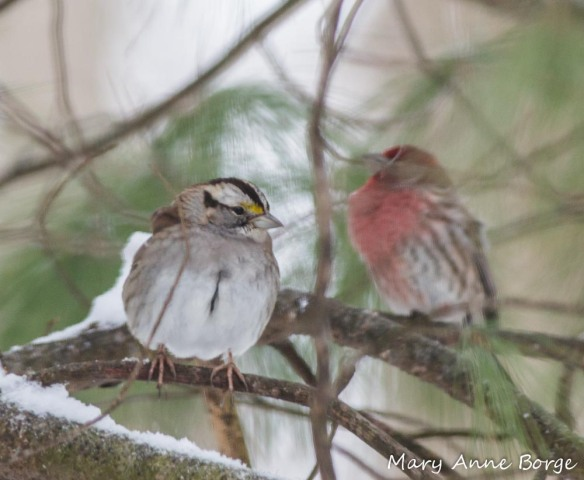 White-throated Sparrow in White Pine with House Finch in the background