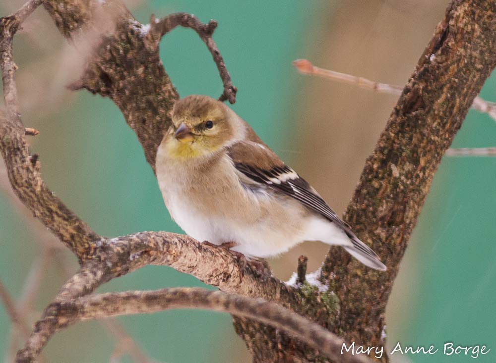 Backyard Birds Of Virginia - House of Things Wallpaper
