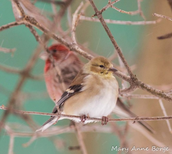 Goldfinch, with male House Finch in the background