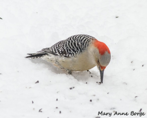 Female Red-bellied Woodpecker foraging on the ground