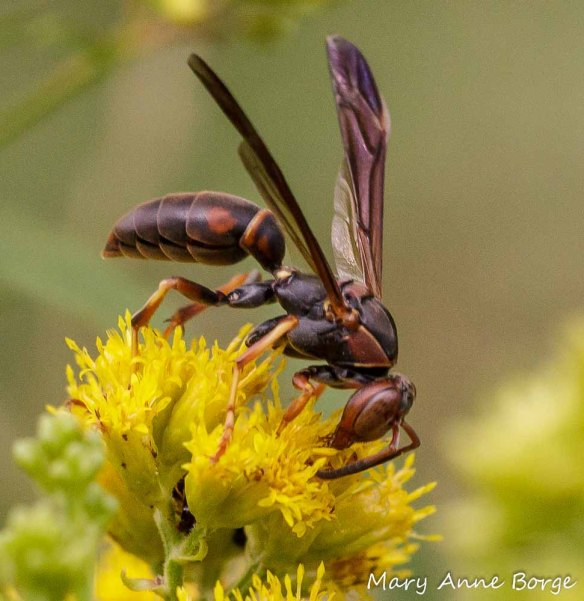 Paper Wasp (Polistes carolinus)