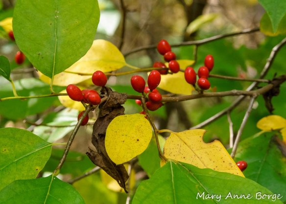 Spicebush (Lindera benzoin) fall fruit and foliage