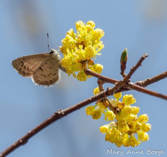 Spicebush (Lindera benzoin) with Spring Azure butterfly nectaring