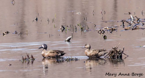 Pair of Blue-winged Teal at Abbott Marshlands