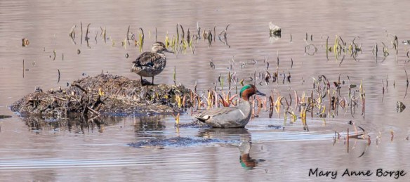 Male and female Green-winged Teal at Abbott Marshlands