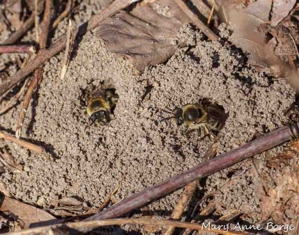 Mining Bees (Andrena sp.) at Abbott Marshlands