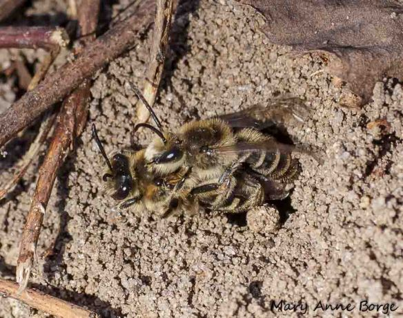 Mining Bees (Andrena sp.) mating at Abbott Marshlands