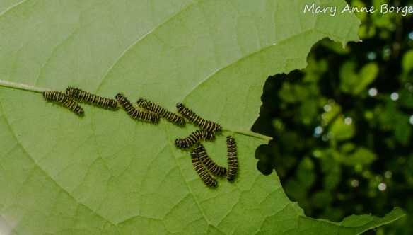 Promethea Moth Caterpillars on Spicebush
