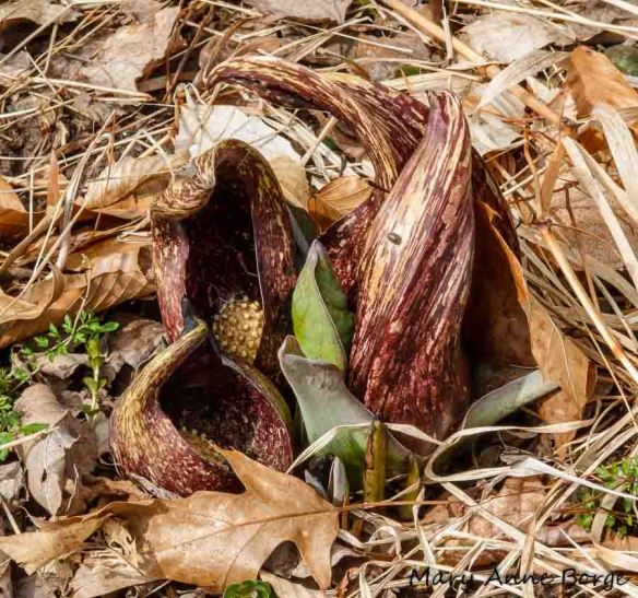 Skunk Cabbage at Bowman's Hill Wildflower Preserve