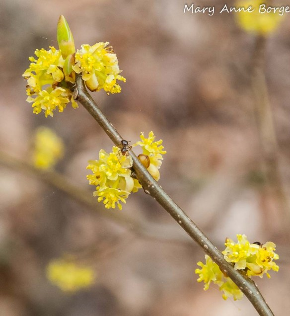 Spicebush (Lindera benzoin) in bloom, with ant seeking nectar