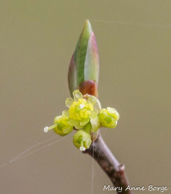 Female Spicebush flowers; note pistils protruding beyond the petals