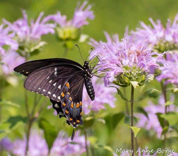 Spicebush Swallowtail nectaring on Wild Bergamot (Monarda fistulosa)