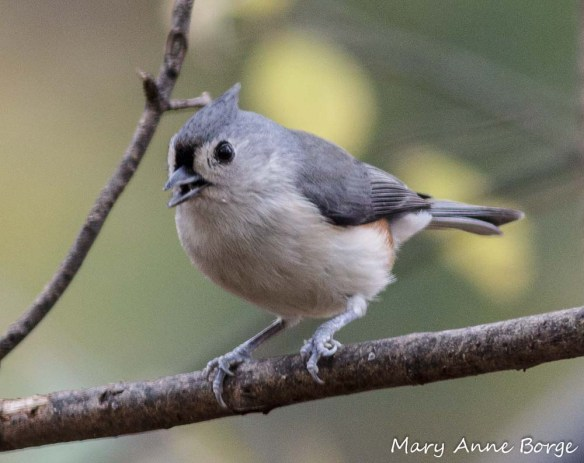 Tufted Titmouse, looking for a meal