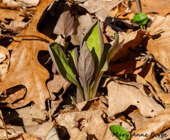 Virginia Bluebells emerging from their winter blanket of leaves at Bowman's Hill Wildflower Preserve