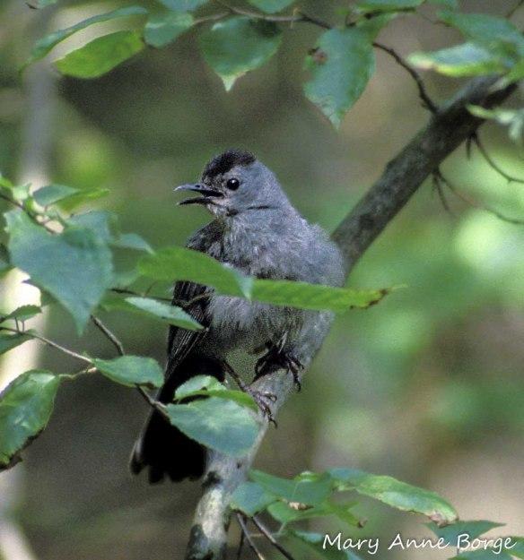 A young Gray Catbird