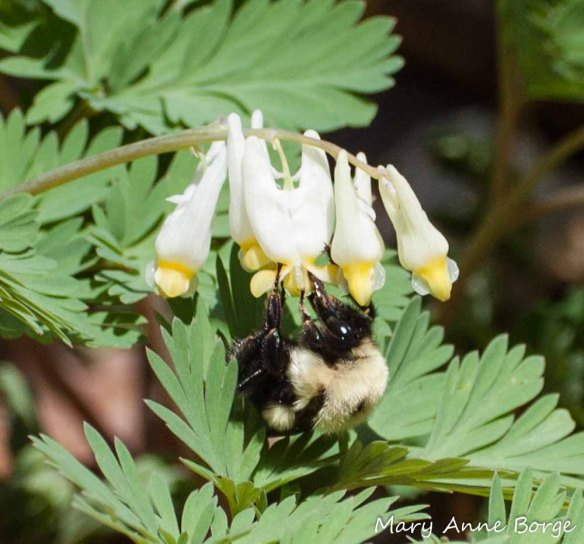 Dutchman's Breeches with Bumble Bee