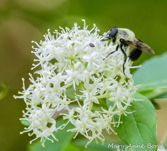 Gray Dogwood with Syrphid Fly, a Bumble Bee mimic.
