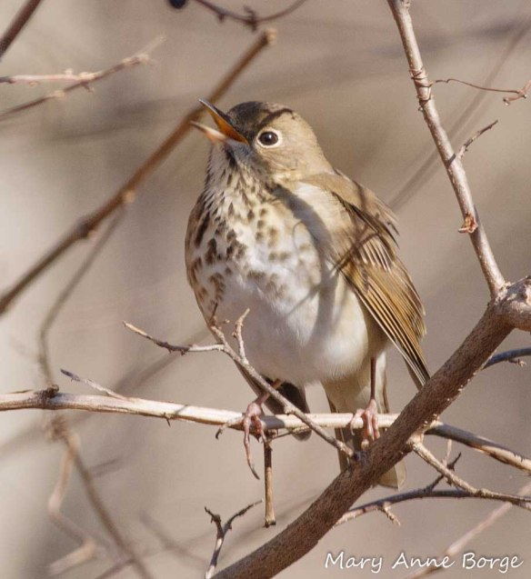 Hermit Thrush - one of the many bird species that eat Gray Dogwood fruits