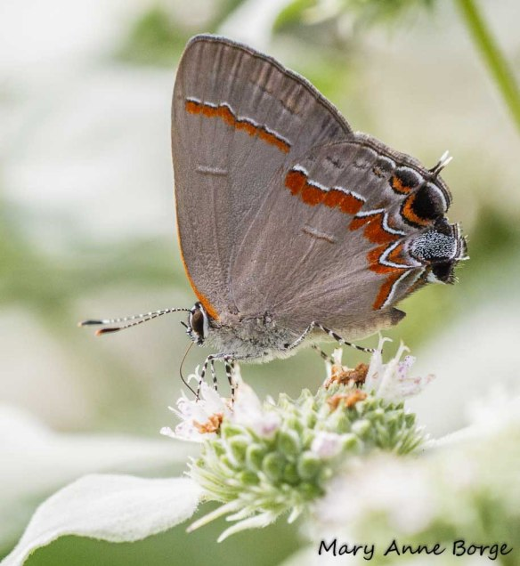 Red-banded Hairstreak, different day, on Short-toothed Mountain Mint (Pycnanthemum muticum)