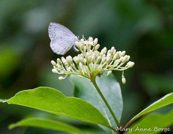 Azure butterfly laying an egg on Gray Dogwood (Cornus Racemosa) flowers
