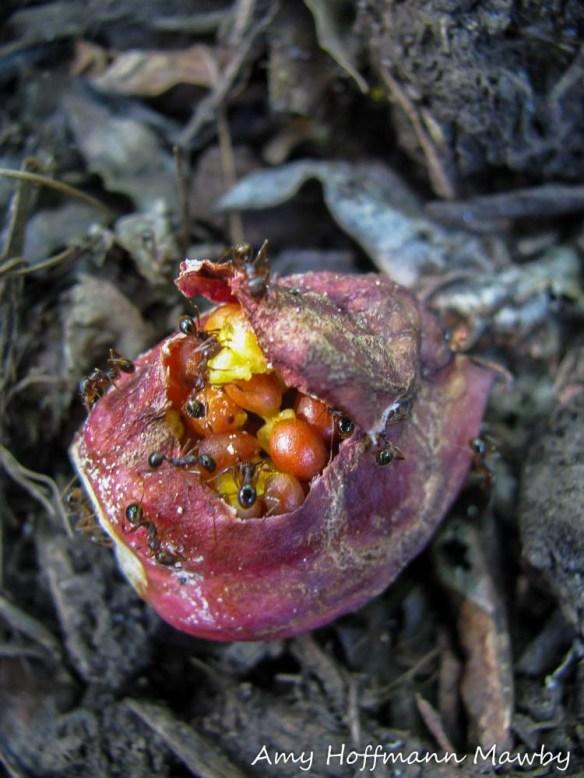 Ants harvesting trillium seeds