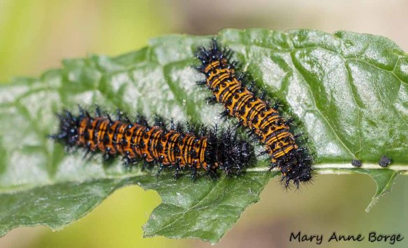 Baltimore Checkerspot caterpillars on Turtlehead (Chelone glabra)