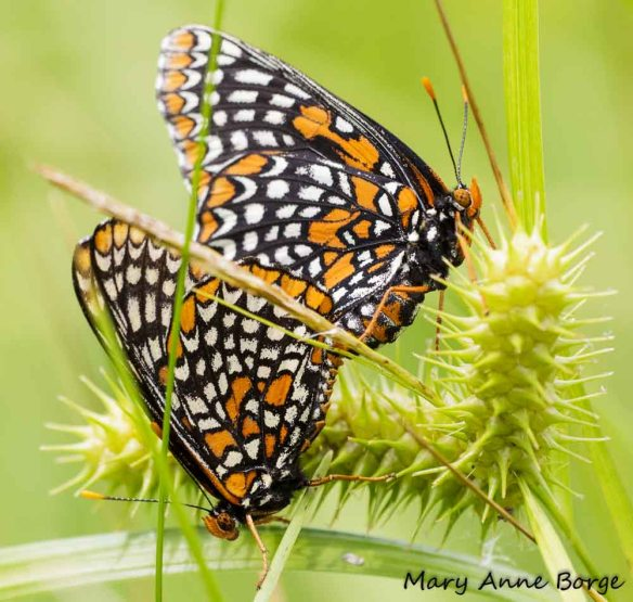 Baltimore Checkerspots, mating